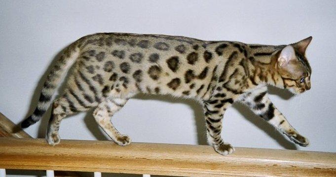 Bengal Cat - Exotic Cat Breeds
