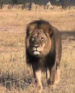 Cecil the lion in Hwange National Park. (Bryan Orford, YouTube)