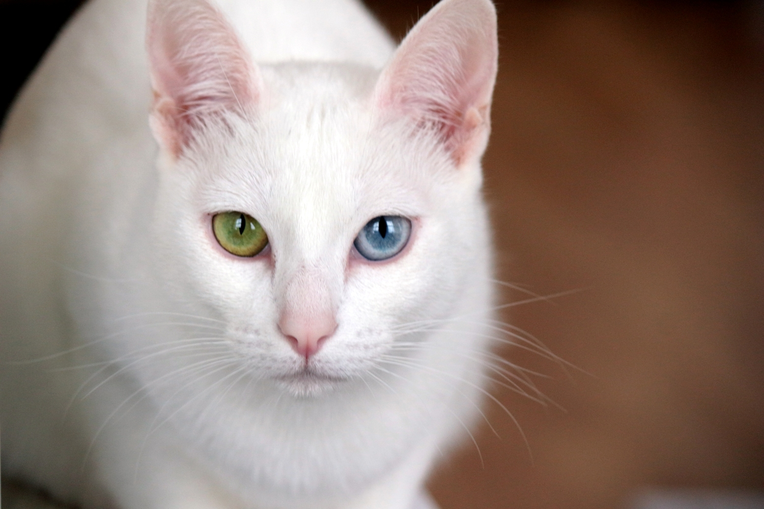 Do Cats Have Blue Eye