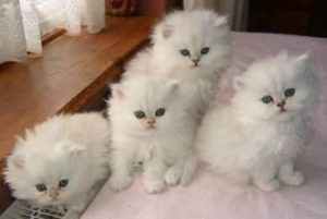 Teacup Persian - Exotic cat breeds