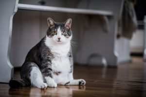 5 Easy Ways To Prevent Obesity In Cats