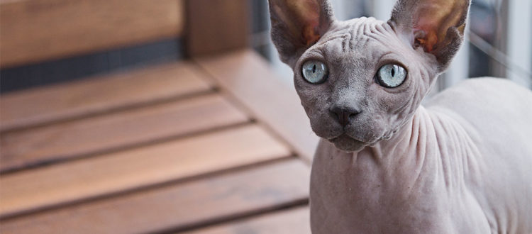 How to look after a Sphynx