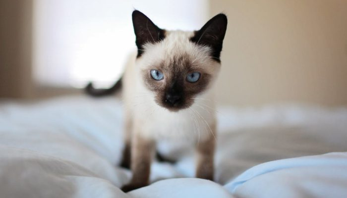 How Do Siamese Get Their Color